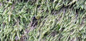 Cypressfläta