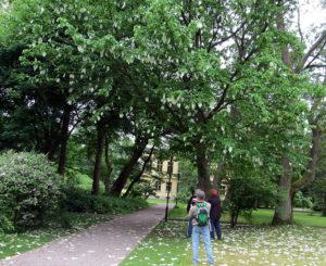 näsduksträdet