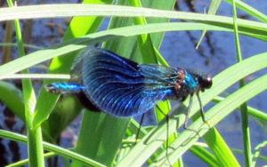 Blå jungfruslända hane (Calypteryx virgo)